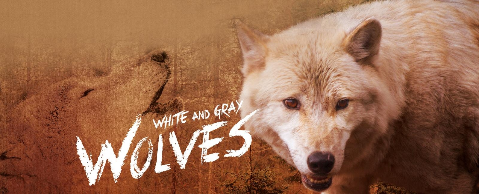 White and Gray Wolves