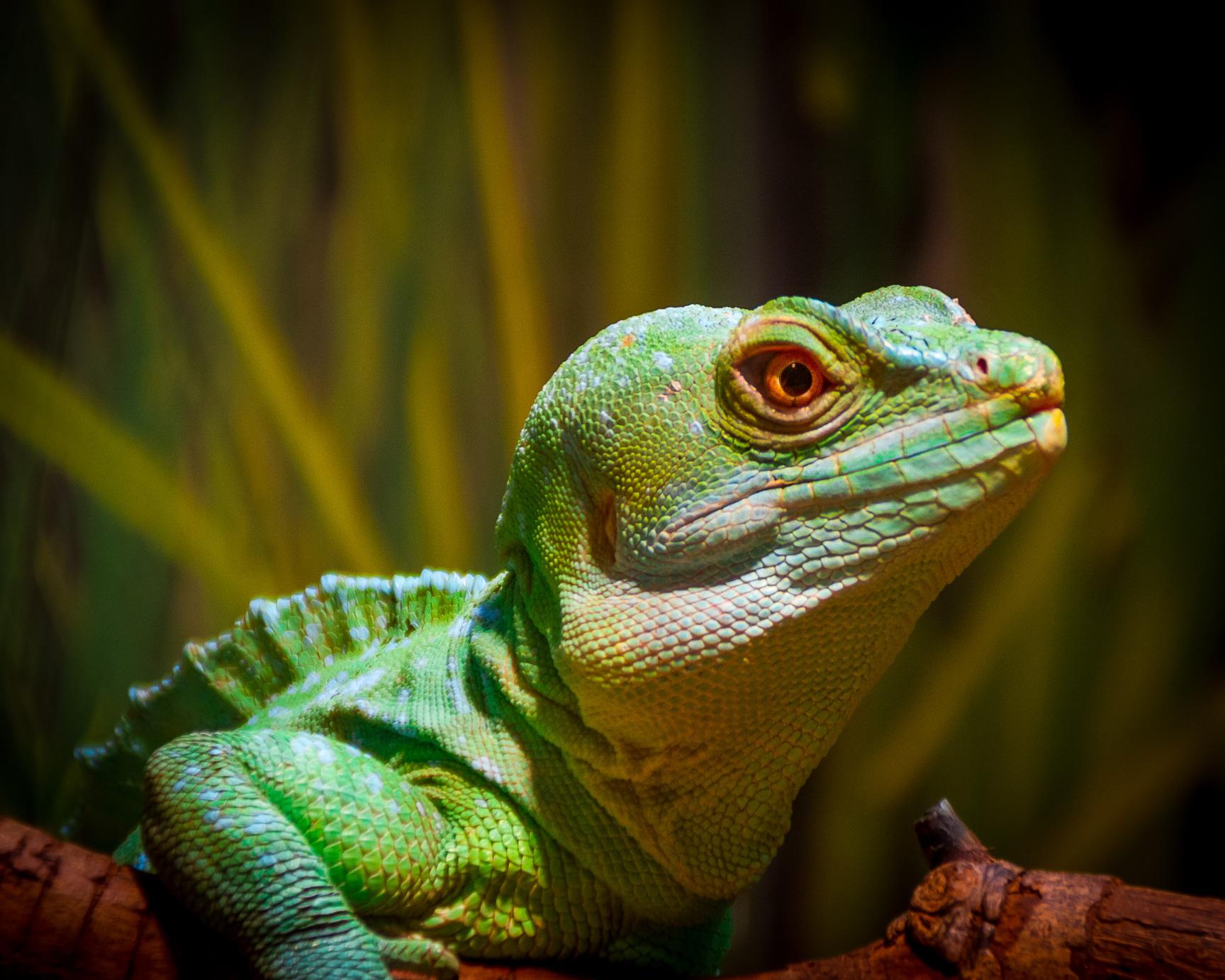 Lizards Animals