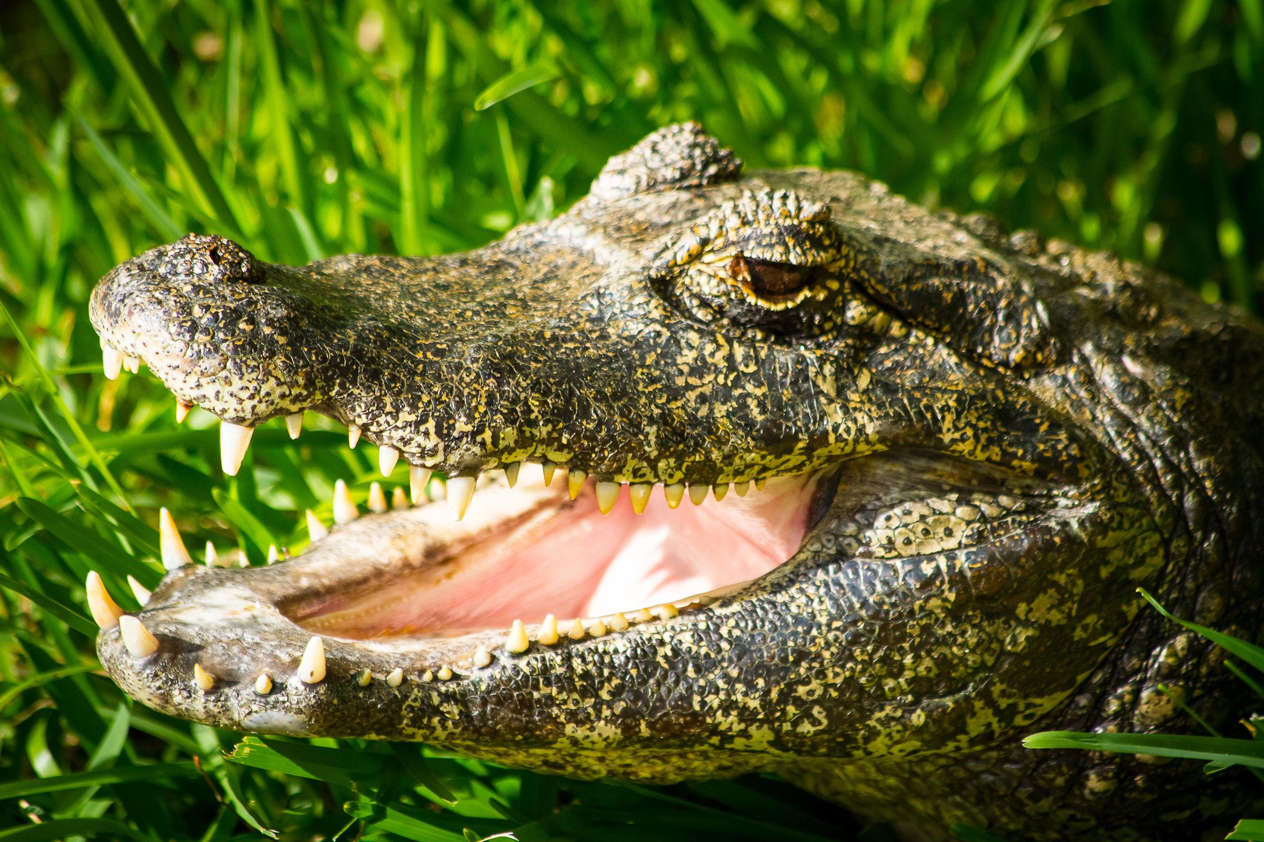 Yacare (Caiman) | Animals