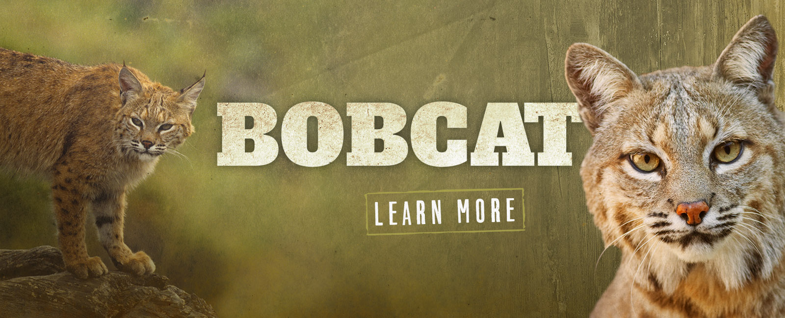Learn more about Bobcats